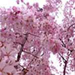 Cherry Blossom (Japanese) Fragrance Oil